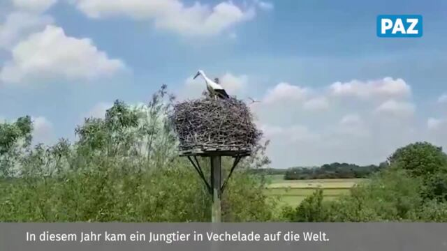 Der Storchen-Nachwuchs in Vechelde wird beringt.