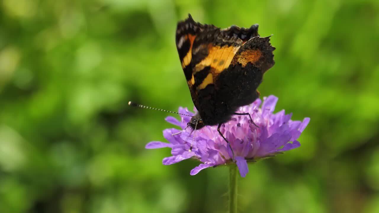Svenska djur – Lär dig känna igen fjärilar