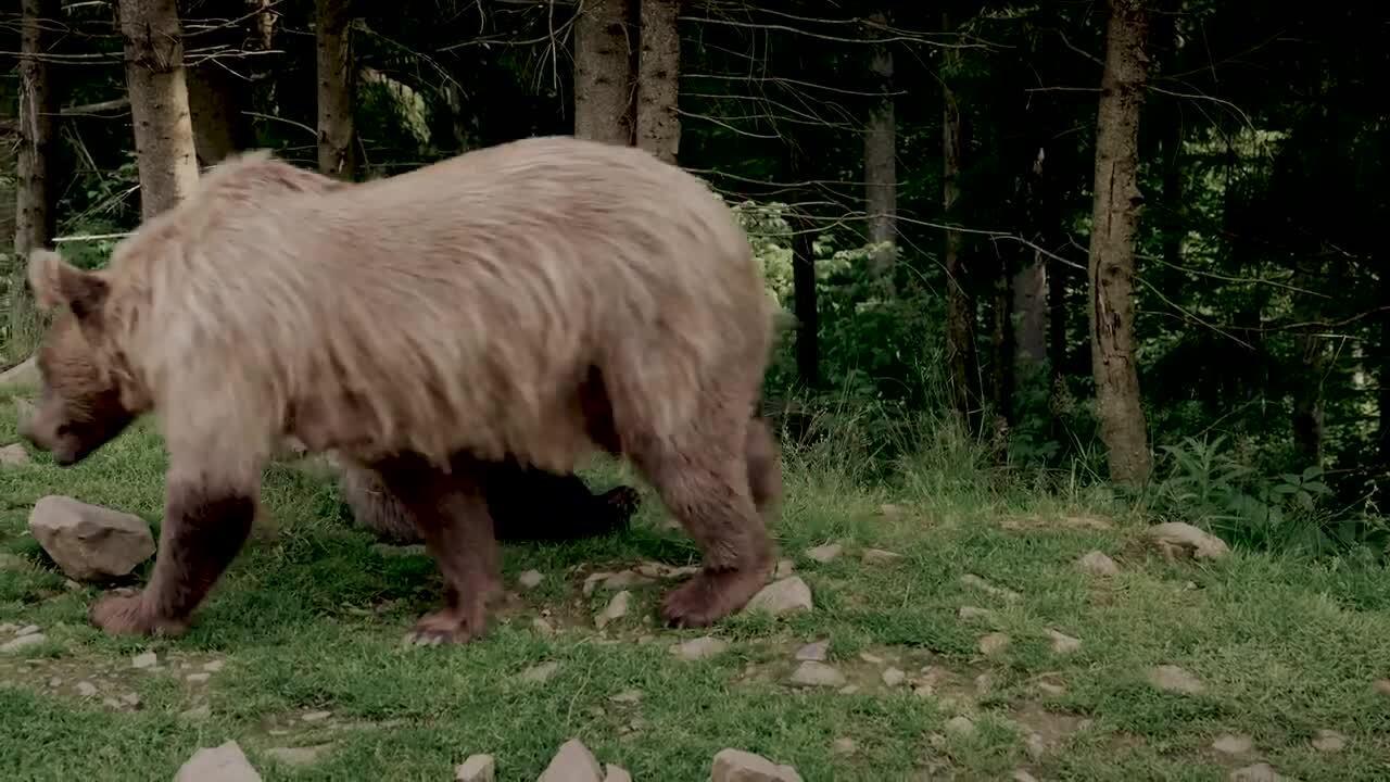 Svenska djur – Björnen