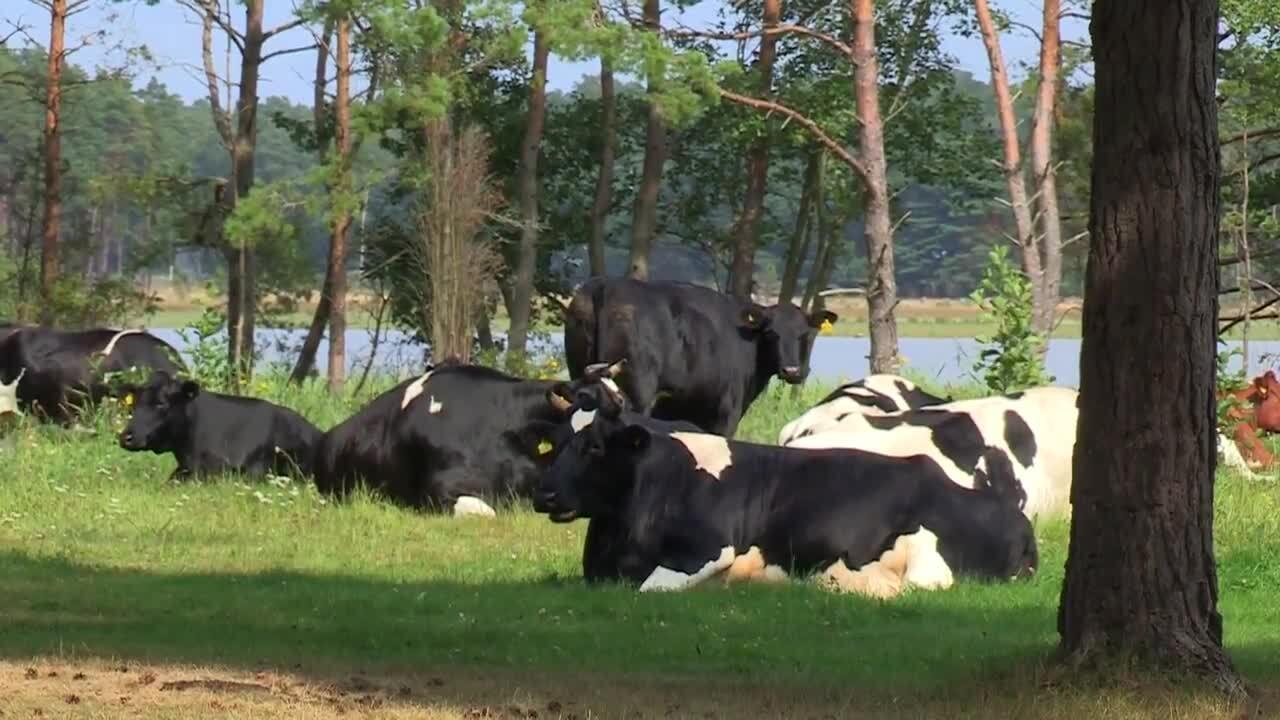 Kor - ger mjölk & kött