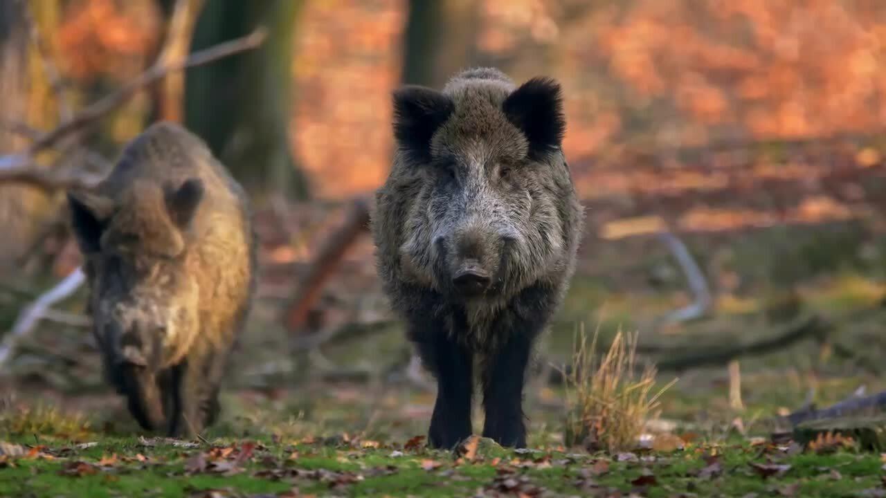 Svenska djur – Vildsvinet