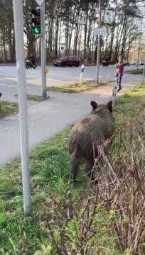 Hier liefen die Wildschweine herum
