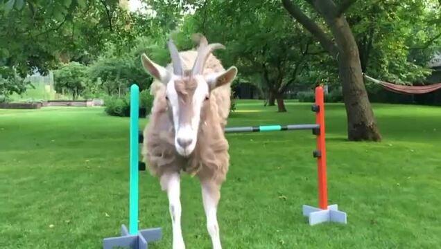 Kai Diekmanns Ziege kann über Hindernisse springen (Video: Kai Diekmann)