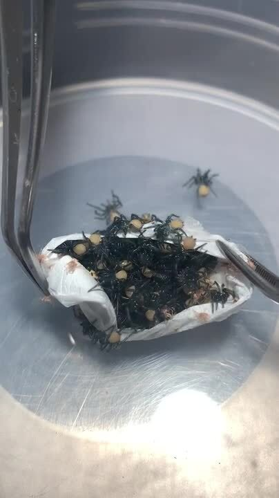 Australian Reptile Park Breaks Open Egg Sac And Finds Hundreds Of Baby Funnel Web Spiders