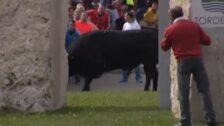 Tordesillas celebra su popular Toro de la Vega, donde por cuarto año, el astado no muere lanceado
