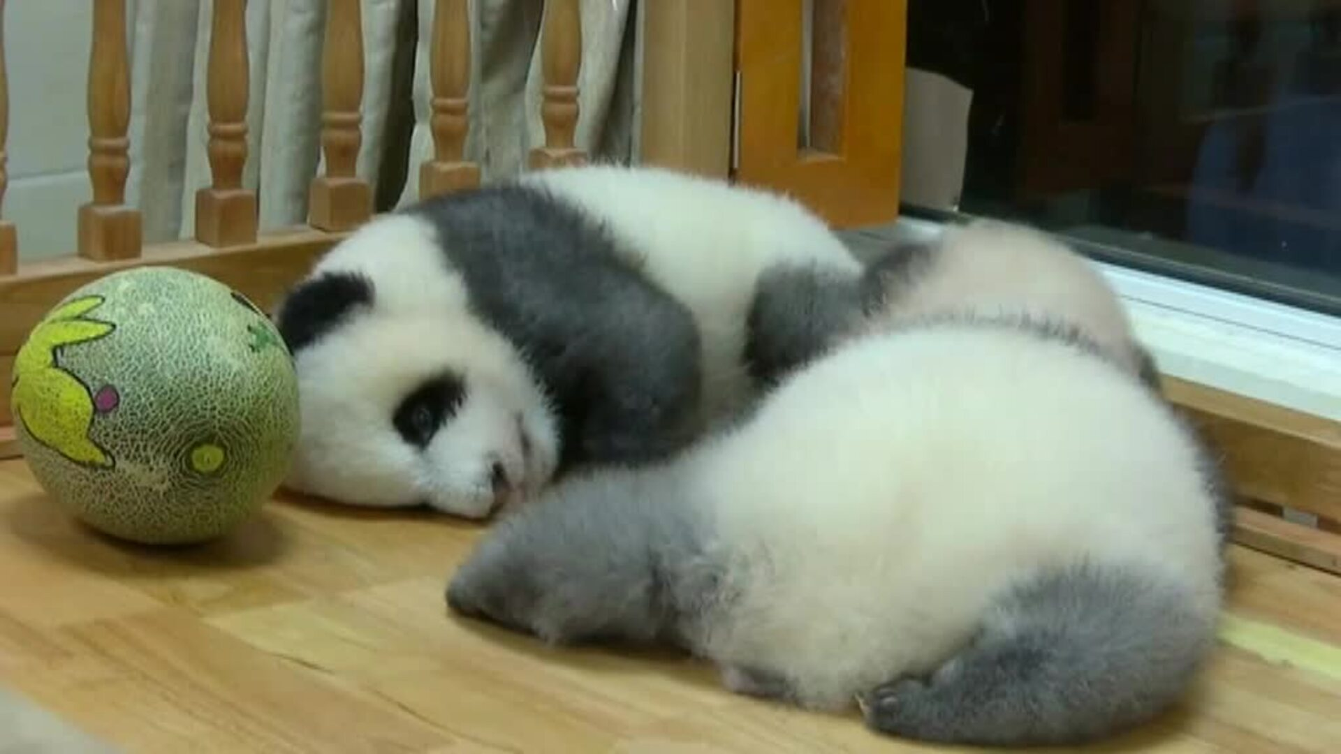 Nace en China un singular panda de pelaje gris