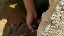 Capturan a una cobra real junto a un sumidero en Tailandia