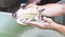 La Fundación Oceanogràfic ha atendido ya a 183 tortugas marinas