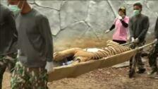 Más de la mitad de los tigres rescatados en el Templo del Tigre han fallecido por problemas de consanguinidad