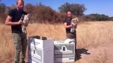 AMUS libera un águila perdicera y otra culebrera tras rehabilitarlas