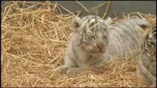 El zoológico de Lima presenta tres tigresas de bengala nacidas en cautiverio