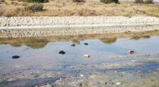 Hallan numerosos gallos decapitados en la desembocadura del Guadalhorce