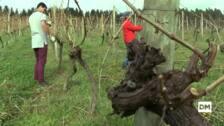 Las uvas que crecen en Cantabria