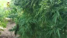Detienen a una pareja que mantenía un cultivo de 100 plantas de marihuana en Totana