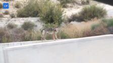 ¿Un lobo en Ricote?