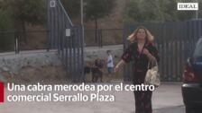 Una cabra merodea en los alrededores del Centro Comercial Serrallo