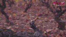 Alex Las Heras, viticultor