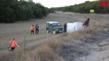 Un novillo de un camión volcado en Palencia embiste a un bombero
