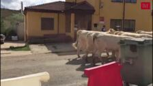 Feria de ganado en San Salvador de Cantamuda, Palencia