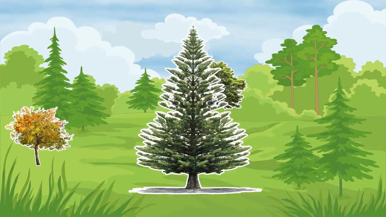Våra träd – Granen