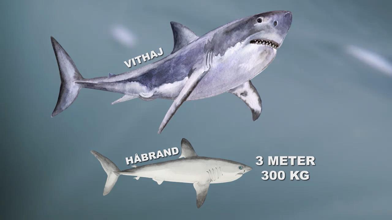 Allt om hajar – Svenska hajar