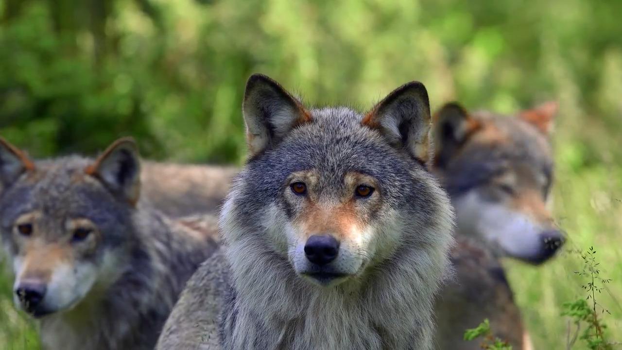 Sveriges farligaste djur – myt eller verklighet