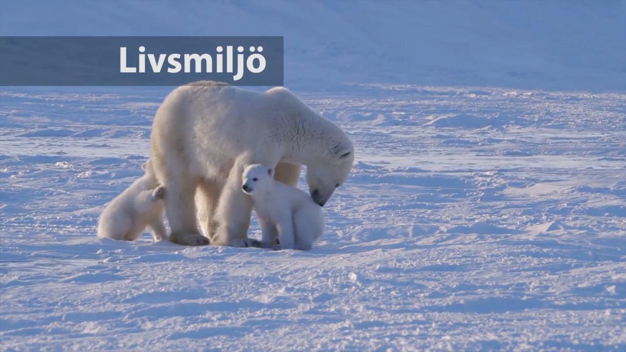 Däggdjurens anpassningar – Isbjörn