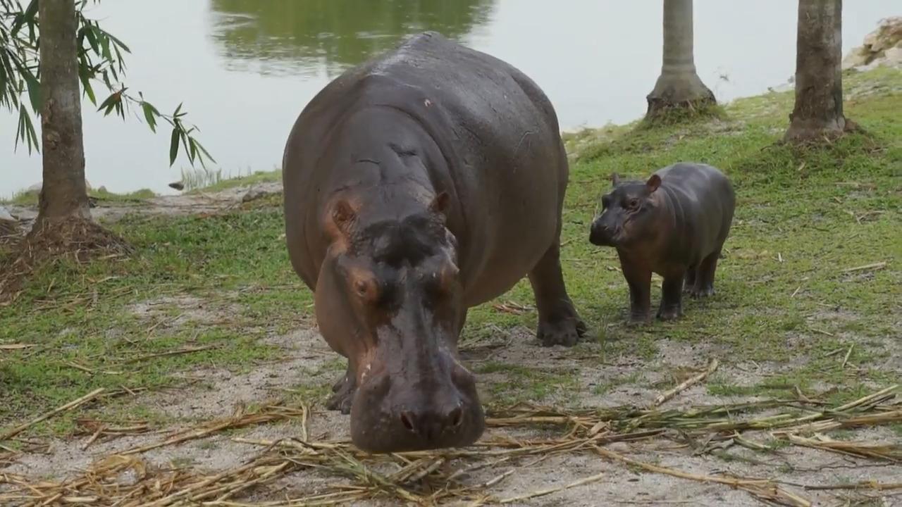 Afrikas djur – Flodhästen