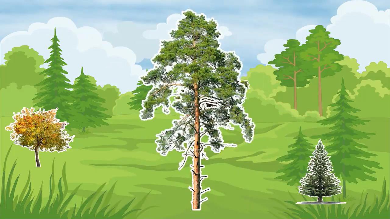 Våra träd – Tallen
