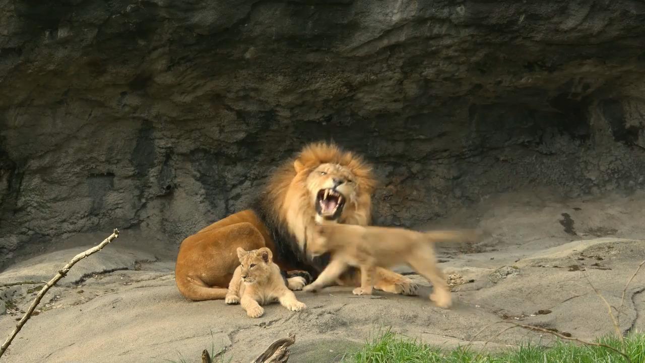 Afrikas djur – Lejonet