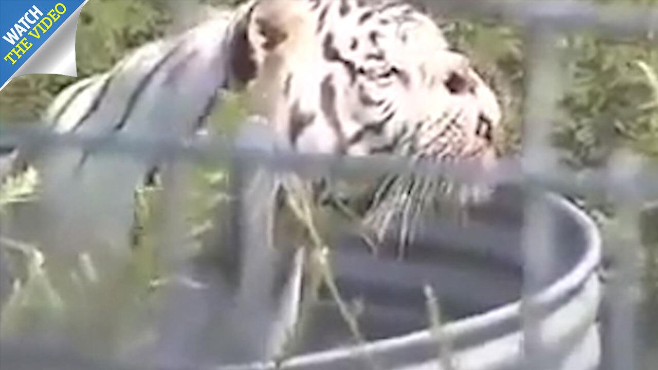 Kenny the £30,000 inbred white tiger born in cruel bid to
