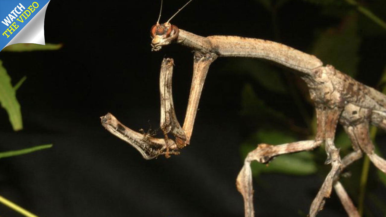 How sex-crazed insects mate non-stop for 79 DAYS, have eyes on their
