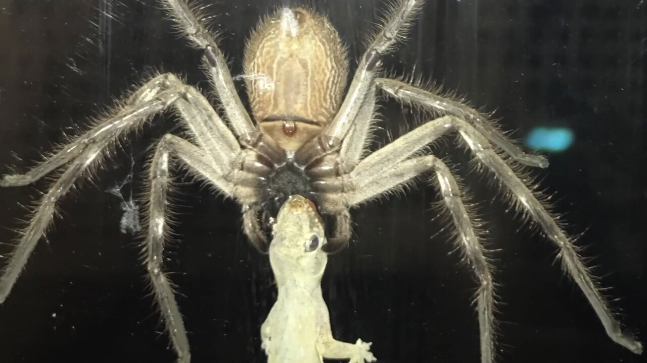Spine-tingling moment a monster huntsman spider the size of a DINNER PLATE terrorises family leaving them too scared to leave their home & Spine-tingling moment a monster huntsman spider the size of a DINNER ...