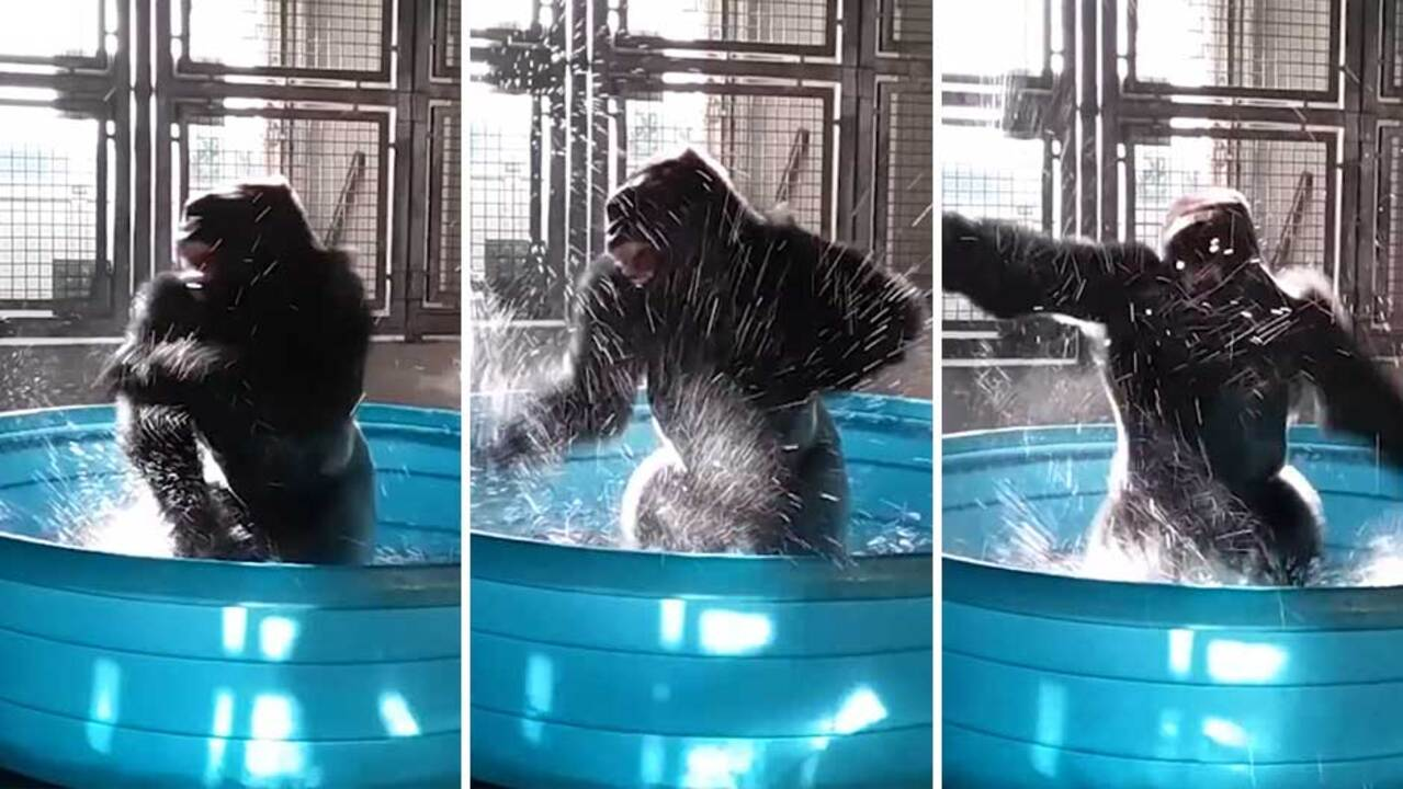 Zola the gorilla can't stop dancing in new paddling pool at Dallas ...