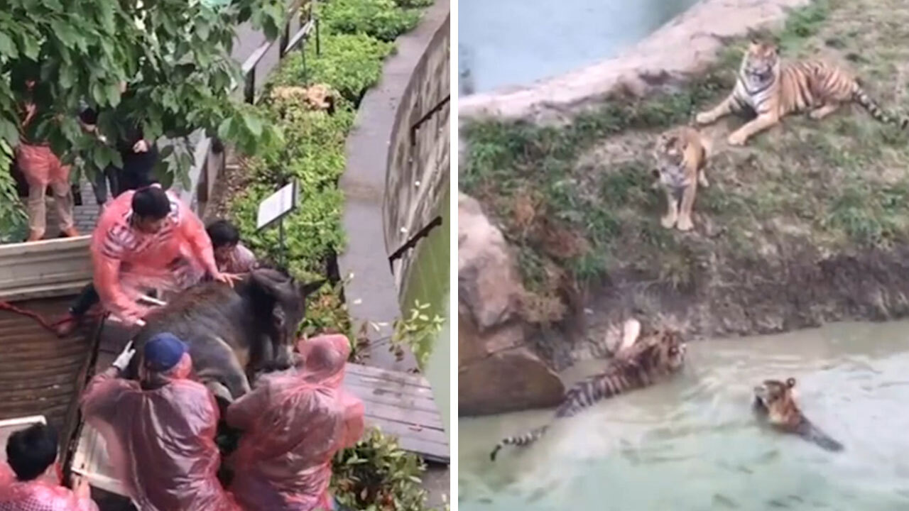 Shocking moment a live donkey is FED to tigers in China zoo horror