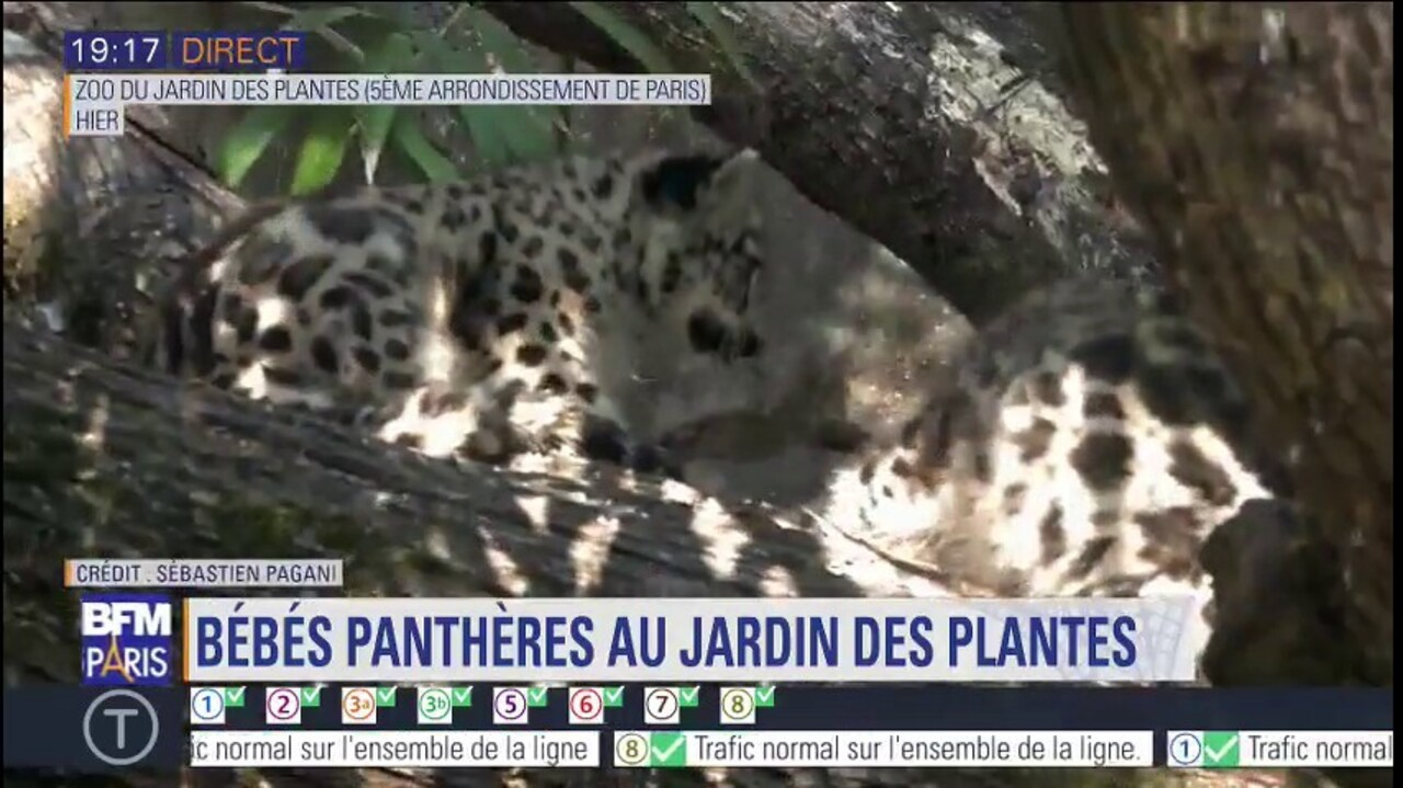 Naissance De Deux Bebes Pantheres Des Neiges Au Jardin Des Plantes