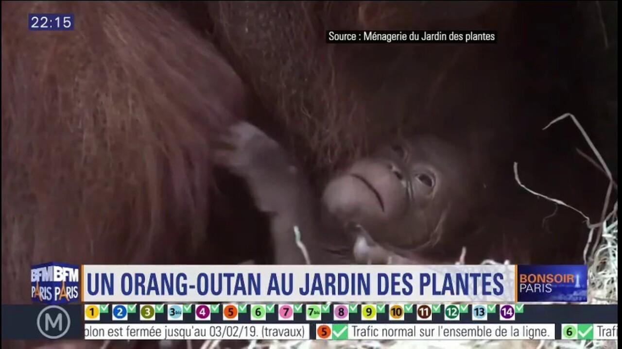 336d88120f4bc Naissance d'un bébé orang-outan au Jardin des Plantes