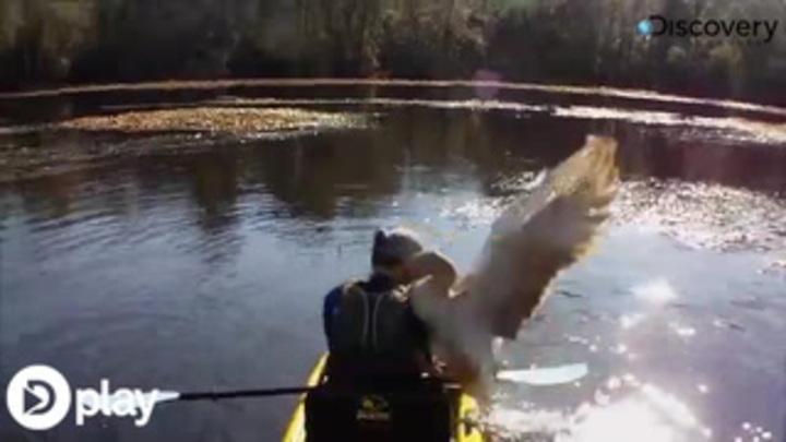 Vilde billeder: Fisker forsøgt 'voldtaget' af lummer gås