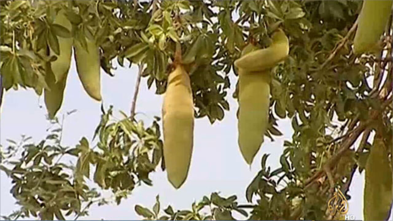 Baobab Benefits Nutrition Dietary Tips And Risks