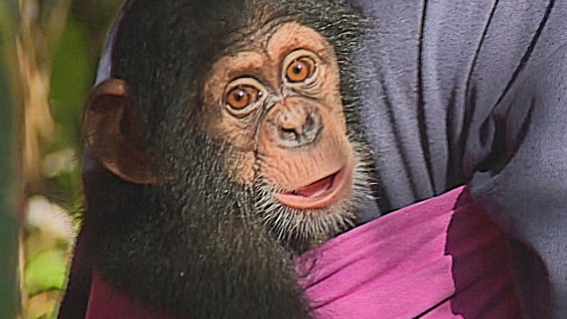 Tacugama Chimpanzee Sanctuary, in Sierra Leone, is under threat
