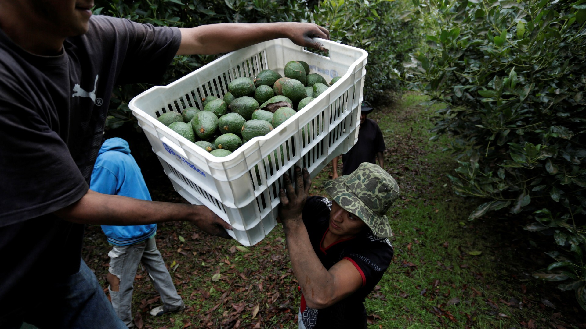 Mexico avocado war: Cartel seeks to control fruit trade