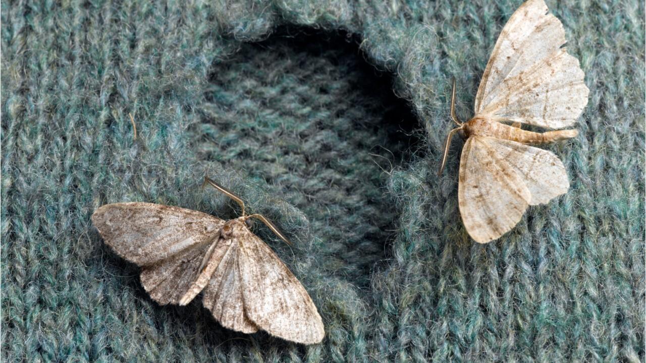 Comment Traiter Les Mites Dans Les Armoires femme actuelle - mites de vêtement : comment les identifier et s'en  débarrasser ?