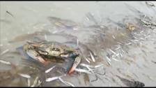Miles de peces y crustáceos muertos en el Mar Menor