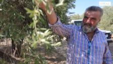 El olivar granadino, el sector más castigado por la sequía.