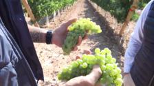 En una semana comienza la vendimia en Rioja